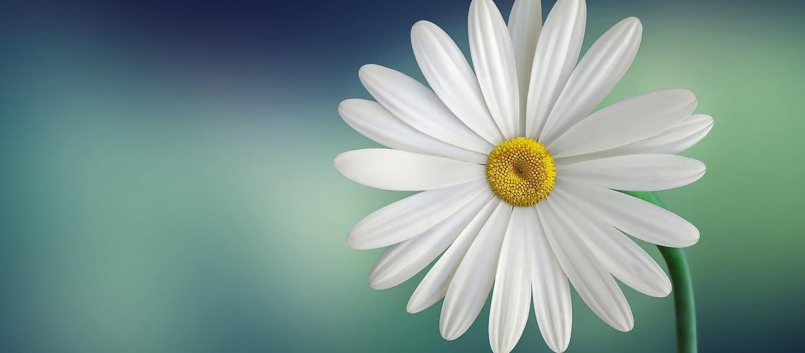 marguerite-daisy-beautiful-beauty